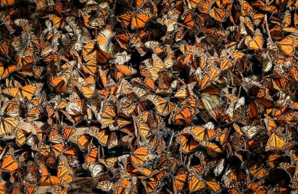 hundreds of butterflies together