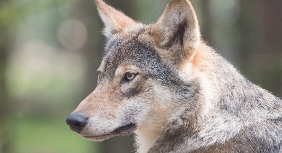 a wolf stares at prey